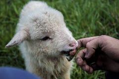 Меньший голодный goatee Стоковое Изображение RF