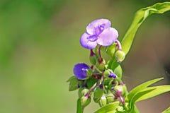 Меньший голубой цветок в саде Стоковые Фотографии RF