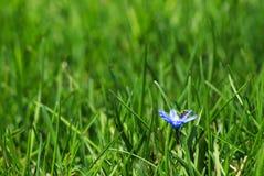 Меньший голубой цветок Стоковые Фото