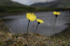 Меньший желтый цветок, озера Killarney в Ирландии Стоковая Фотография RF