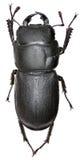 Меньший жук рогача на белой предпосылке Стоковая Фотография