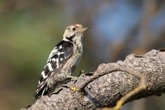 Меньший запятнанный мужчина woodpecker сидит на ветви Стоковая Фотография