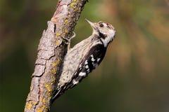 Меньший запятнанный мужчина woodpecker сидит на ветви Стоковое Изображение RF