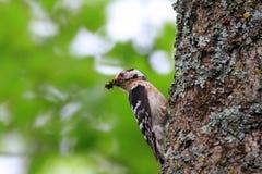 Меньший запятнанный мужчина Woodpecker Стоковое фото RF