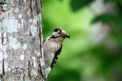 Меньший запятнанный мужчина Woodpecker Стоковые Изображения