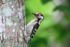 Меньший запятнанный мужчина Woodpecker Стоковая Фотография RF