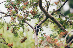 Меньший запятнанный несовершеннолетний Dendrocopos Woodpecker садился на насест на ветви Стоковая Фотография RF
