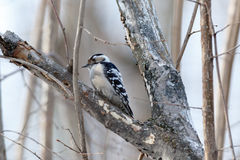 Меньший запятнанный несовершеннолетний Dendrocopos Woodpecker Стоковое Фото