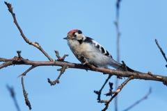 Меньший запятнанный несовершеннолетний Dendrocopos Woodpecker Стоковое фото RF