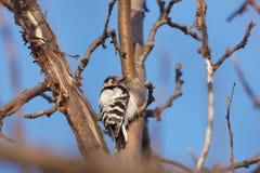 Меньший запятнанный несовершеннолетний Dendrocopos Woodpecker Стоковая Фотография