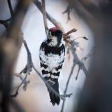 Меньший запятнанный несовершеннолетний Dendrocopos Woodpecker Стоковое Изображение RF
