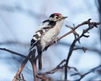 Меньший запятнанный несовершеннолетний Dendrocopos Woodpecker Стоковая Фотография RF