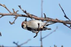 Меньший запятнанный несовершеннолетний Dendrocopos Woodpecker Стоковые Изображения RF