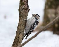 Меньший запятнанный несовершеннолетний Dendrocopos Woodpecker Стоковые Изображения