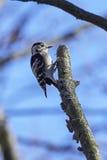 Меньший запятнанный несовершеннолетний Dryobates woodpecker Стоковое Изображение