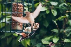 Меньший запятнанный Woodpecker воюя воробья дома Стоковая Фотография RF