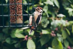 Меньший запятнанный Woodpecker на арахисе смертной казни через повешение Стоковое Изображение