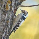 Меньший запятнанный woodpecker на дереве Стоковая Фотография RF