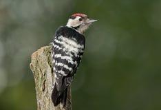 Меньший запятнанный woodpecker (несовершеннолетний Dryobates) Стоковое Изображение RF