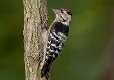 Меньший запятнанный woodpecker (несовершеннолетний Dryobates) Стоковые Изображения RF
