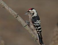 Меньший запятнанный woodpecker (несовершеннолетний Dryobates) Стоковое Изображение