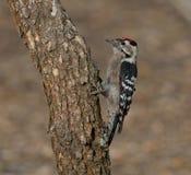 Меньший запятнанный woodpecker (несовершеннолетний Dryobates) Стоковая Фотография RF