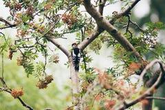 Меньший запятнанный Woodpecker садить на насест на ветви Стоковая Фотография RF