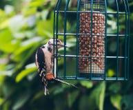 Меньший запятнанный Woodpecker садить на насест на фидере смертной казни через повешение Стоковые Изображения RF