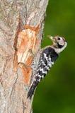 Меньший запятнанный woodpecker с едой Стоковая Фотография
