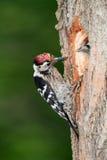 Меньший запятнанный woodpecker с цыпленоком Стоковая Фотография