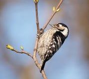 меньший запятнанный woodpecker Стоковые Изображения RF