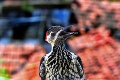Меньший запятнанный Woodpecker Стоковое фото RF