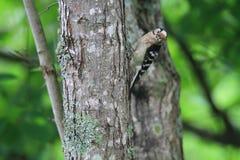 Меньший запятнанный Woodpecker Стоковые Фотографии RF