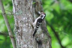 Меньший запятнанный Woodpecker Стоковое Изображение RF