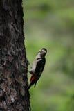 меньший запятнанный woodpecker Стоковая Фотография RF