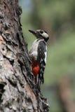 меньший запятнанный woodpecker Стоковое Изображение