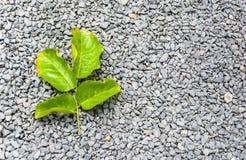 Меньший зеленый цвет лист на меньшем камне гранита Стоковое Фото