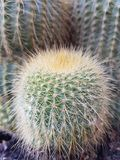 Меньший кактус стоковое фото