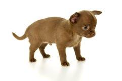 Меньший коричневый щенок чихуахуа цвета стоковое изображение
