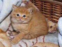 Меньший котенок имбиря Стоковое Изображение