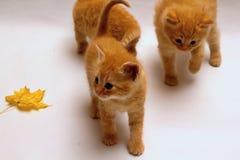Меньший котенок имбиря Стоковое фото RF