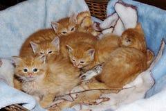 Меньший котенок имбиря Стоковое Фото