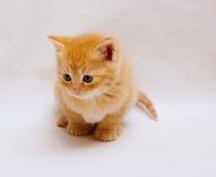 Меньший котенок имбиря Стоковая Фотография