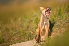 Меньший красный Fox зевает около его отверстия в красивом солнечном свете стоковые изображения