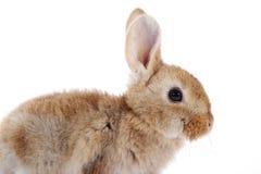 Меньший кролик зайчика на белой предпосылке стоковое изображение