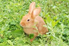 Меньший оранжевый кролик Стоковые Изображения RF