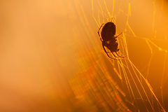 Меньший паук силуэта на сети на заходе солнца близкий макрос мухы цветка отдыхая вверх Стоковое Фото