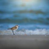 меньший песок plover Стоковая Фотография