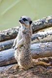 Меньший предохранитель владениями meerkat стоковые изображения rf