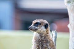 Меньший предохранитель владениями meerkat стоковое изображение